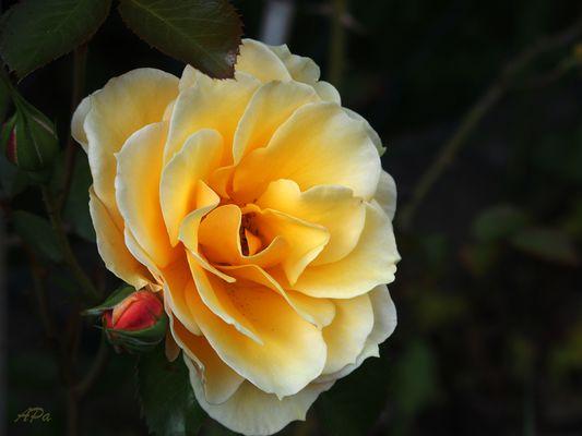 Die Blütezeit der Rosen (8)