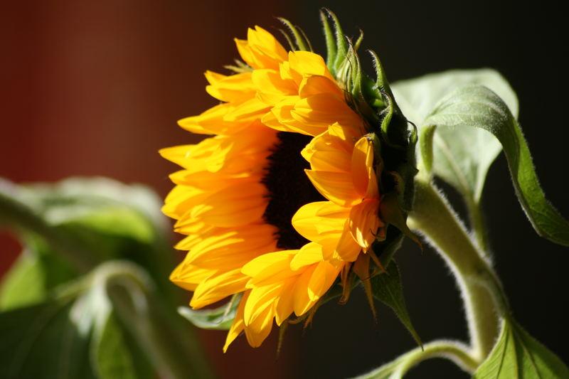 Die Blume der Sonne
