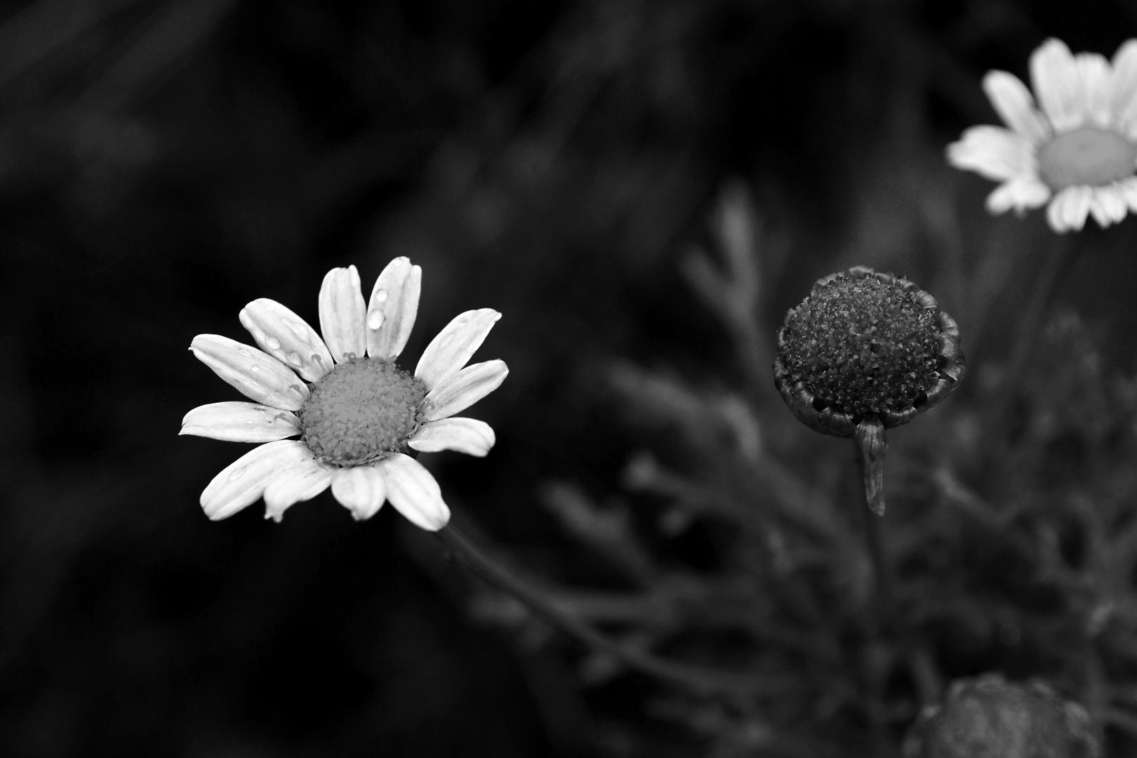 Die Blume der Träume