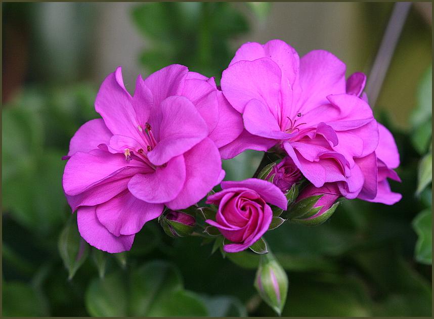 Die Blume des Sommers !