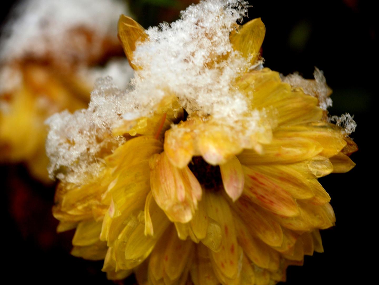 Die Blume im Schnee