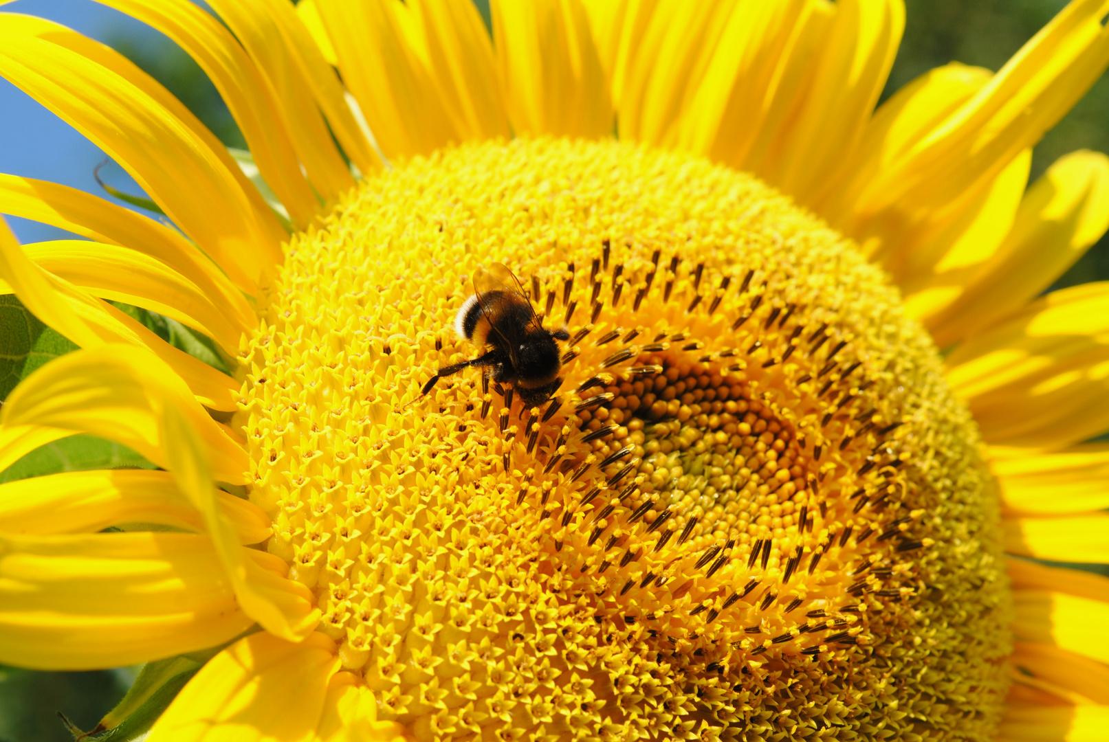 Die Blume strahlt in der Sonne