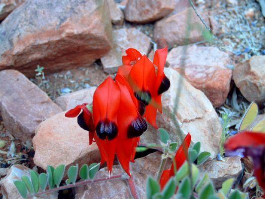 Die Blume Südaustraliens