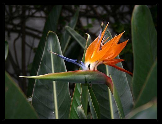 Die Blume Teneriffas....