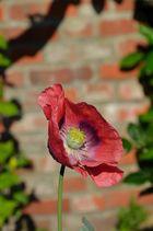 Die Blume vor der Mauer