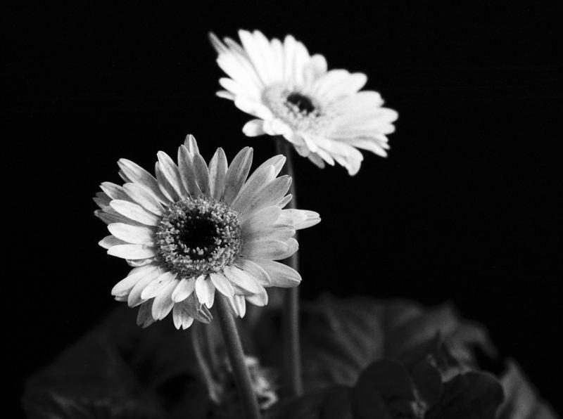 Die Blumen am Fenster