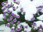 Die Blumen im Schnee