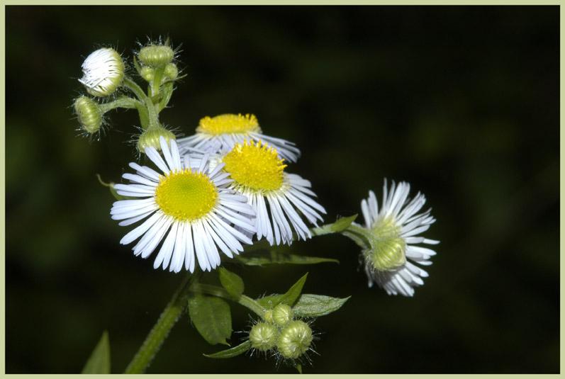 die Blumen in Nachbars Garten.....