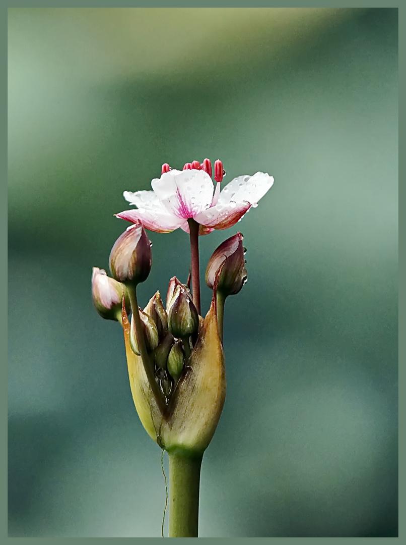 Die Blumenbinse