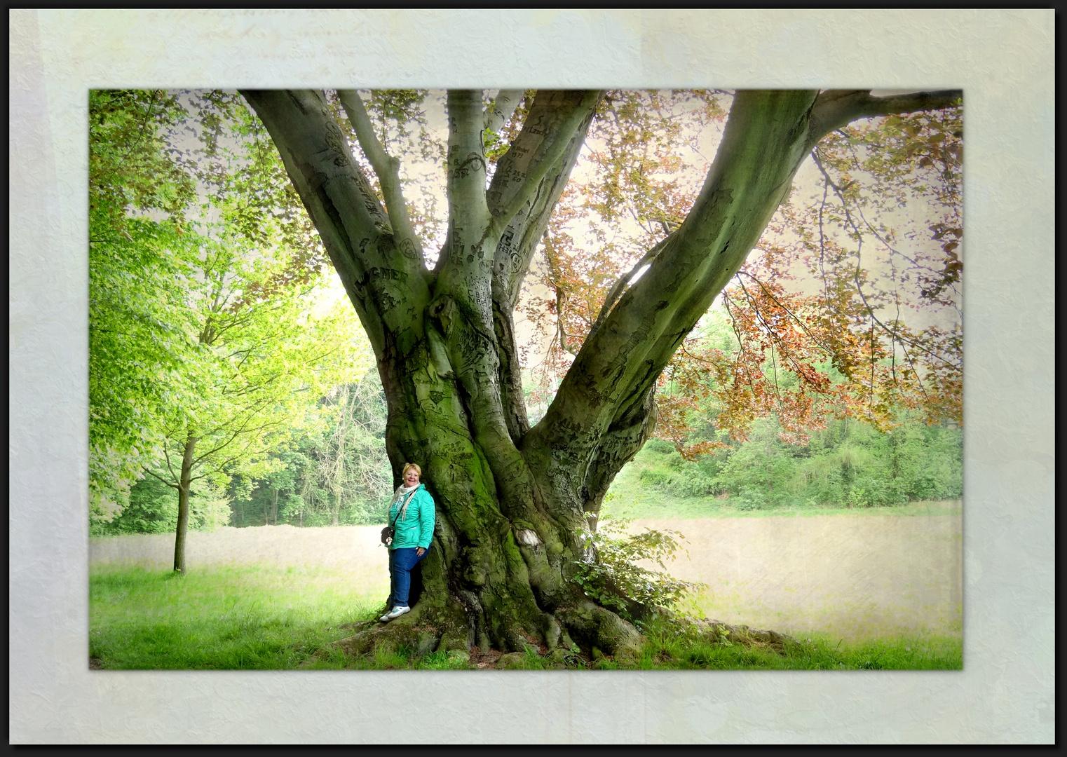 die Blutbuche im Schlosspark Püchau