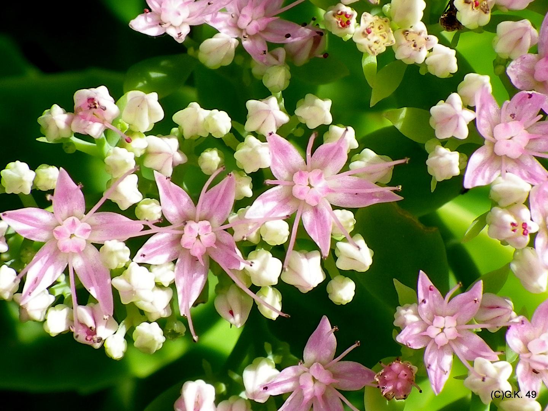 Die Bodendecker erfreuen uns mit ihren besonderen Blüten .