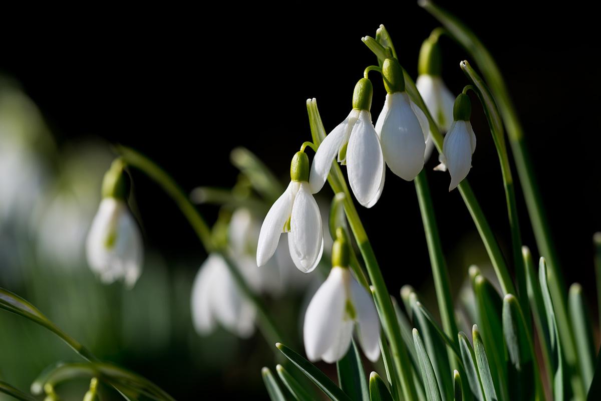 Die Boten des Frühlings