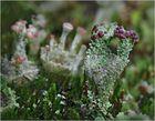 Die Braunfrüchtige Cladonia ...