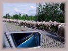 Die brave Herde...
