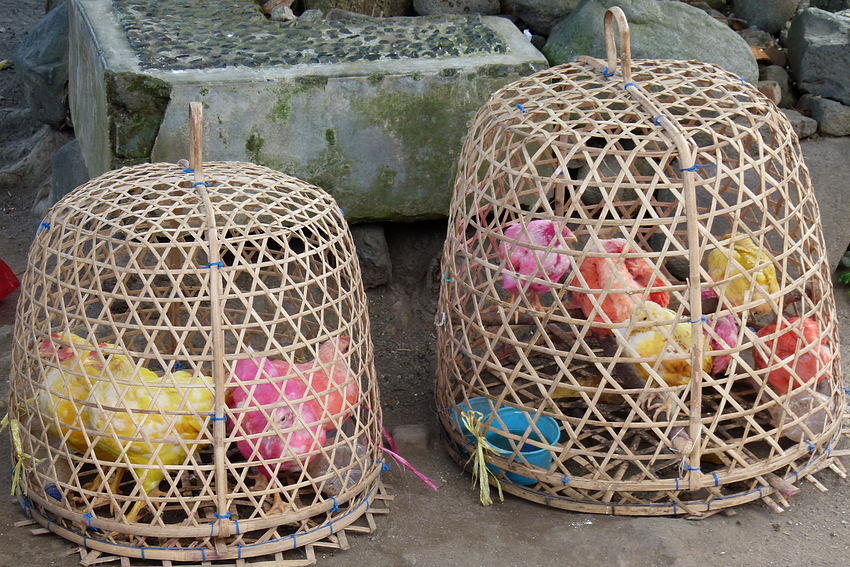 ...die bunten Hühner von Tenganan...