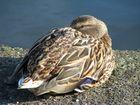Die chillige Ente