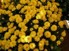 Die Chrysanthemen