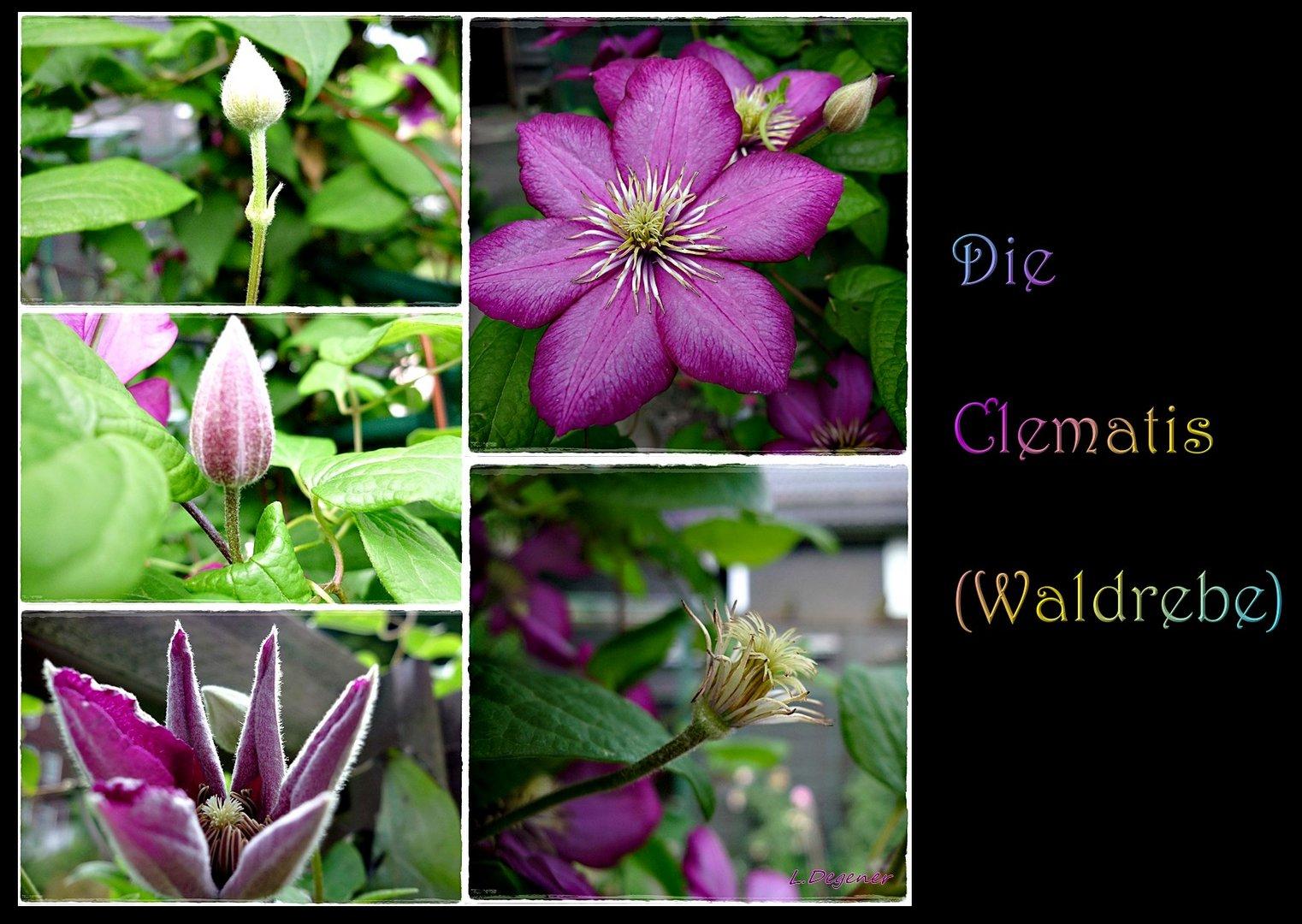 die Clematis (Waldrebe)