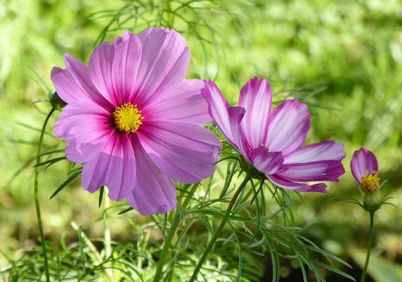 Die Cosmea aus dem Alpengarten als Mittwochsblümchen