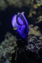 Die Doktorfische