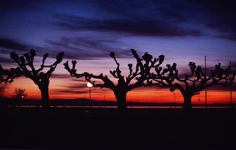 Die drei einsamen Bäume am Bodensee.