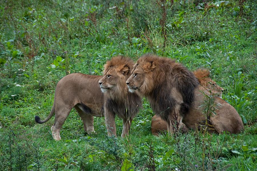 Die drei Löwen ...