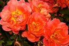 Die Drei vom Rosenbusch