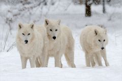 [ Die drei vom Wolfsgehege... ]