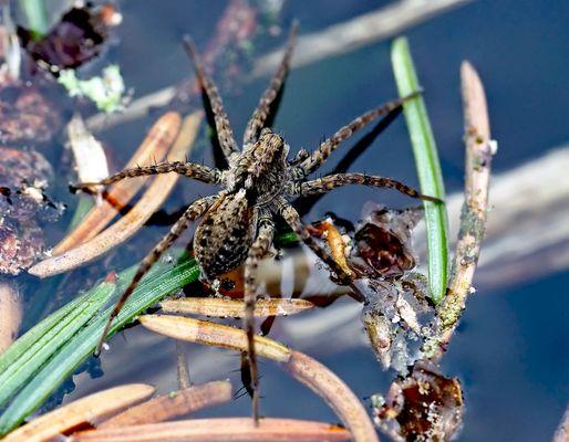 Die Dunkle Wolfspinne (Pardosa amentata)* rennt auf dem Wasser herum… - Elle court sur l'eau du lac!