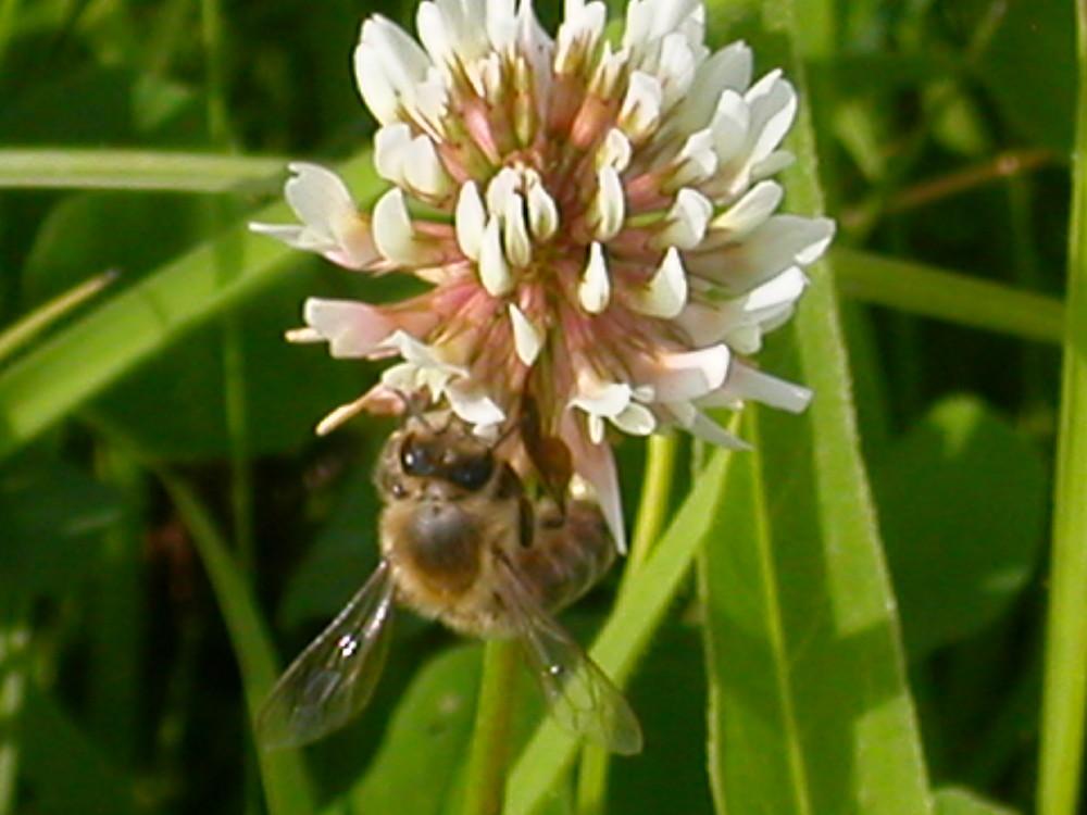 Die echte Biene Maja