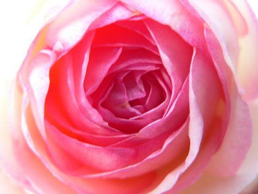 Die Eden-Rose