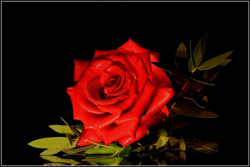 Die eine Rose...