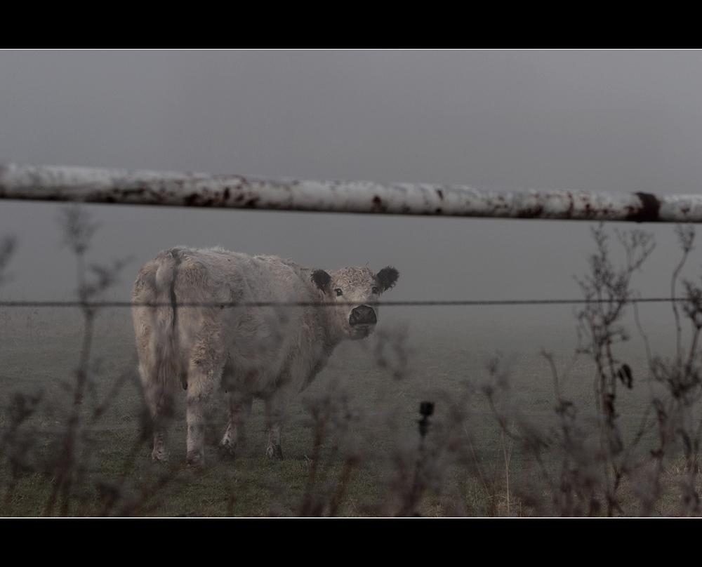 die eingezäunte Kuh -1-
