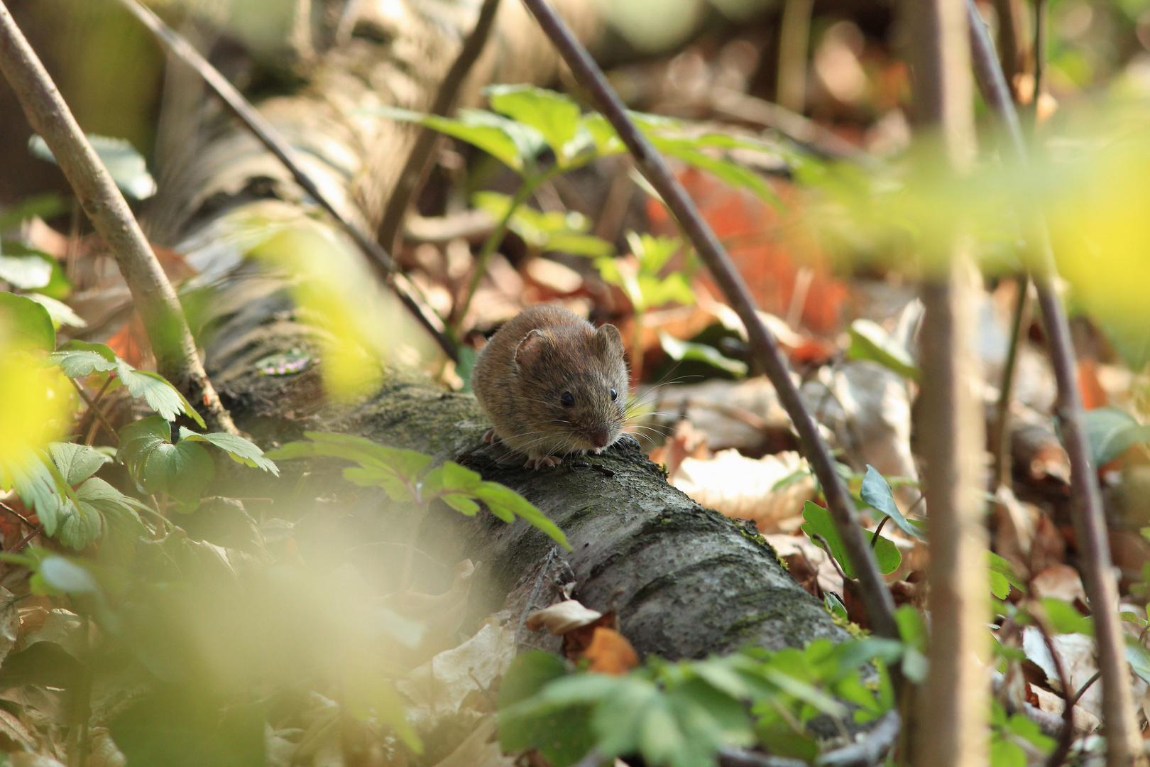 Die einsame Maus