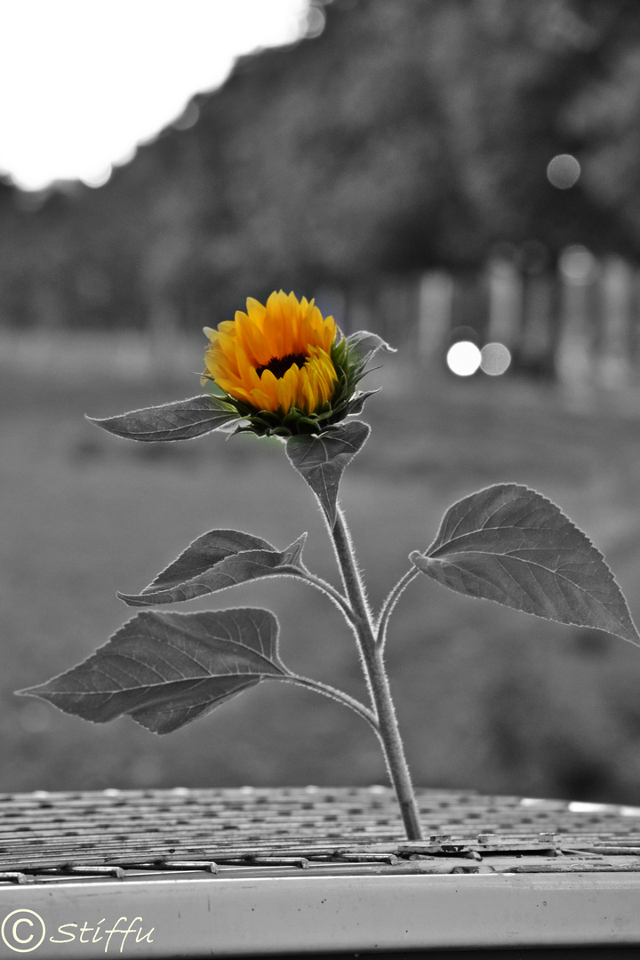 Die einsame Sonnenblume