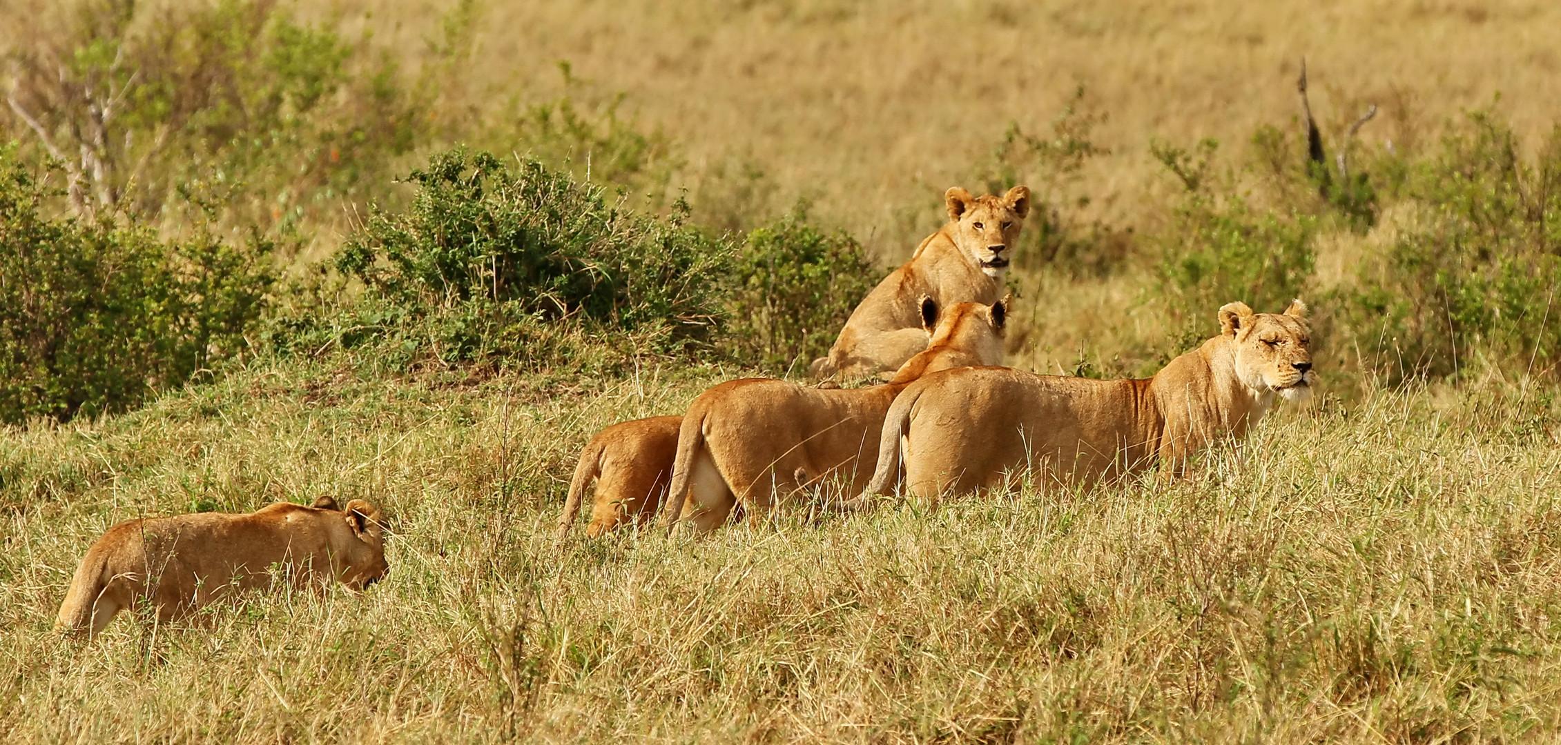 .....die einzige größere Löwenansammlung....