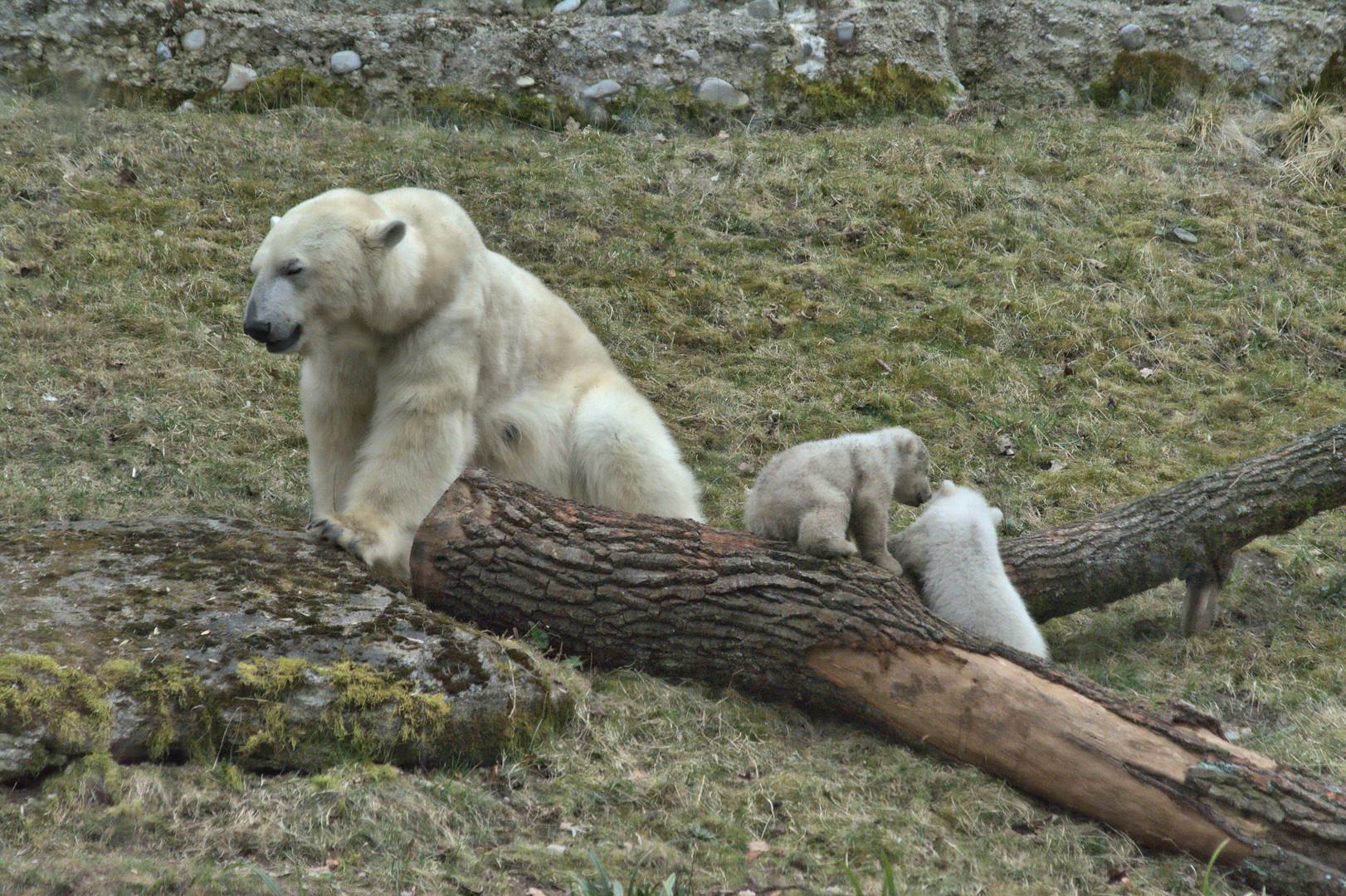 Die Eisbärenzwillinge im Tierpark Hellabrunn