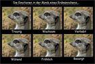 Die Emotionen eines Erdmännchens ;-)...