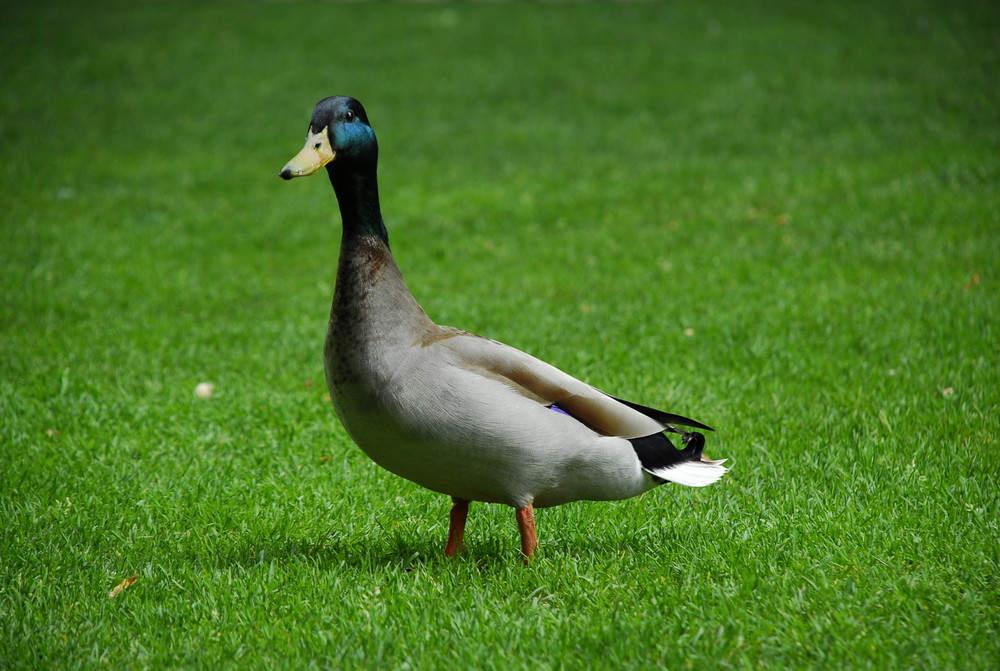 Die Ente...