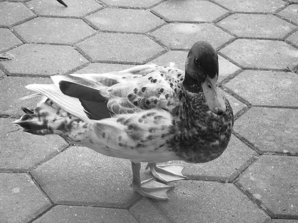 Die Ente auf dem Balkon