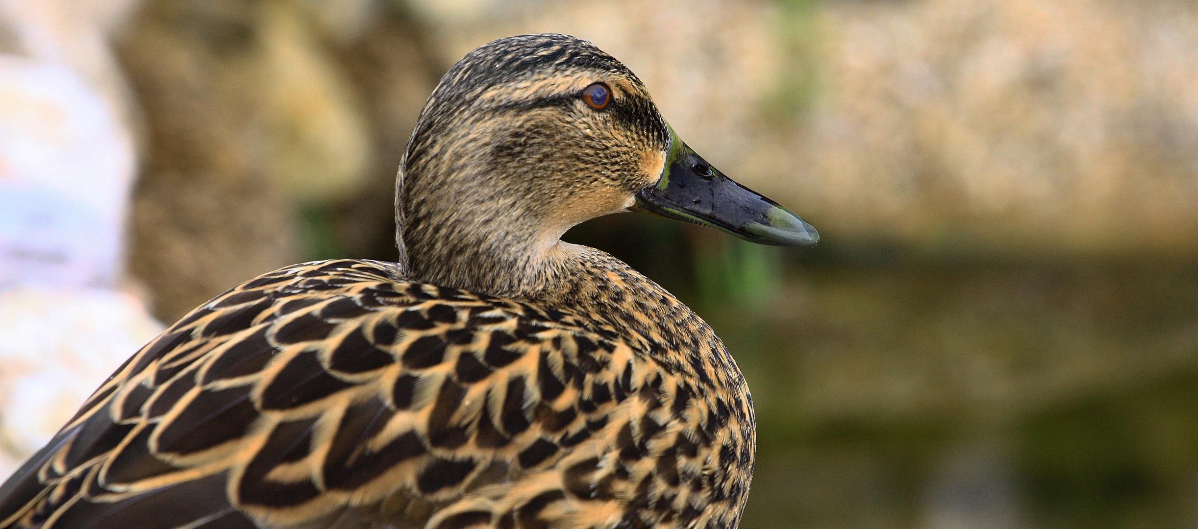 Die Ente