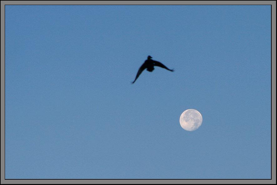 Die Ente Ikarus bemerkt die Nähe des Mondes