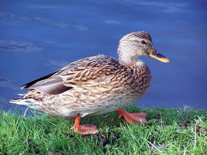Die Ente im Profil