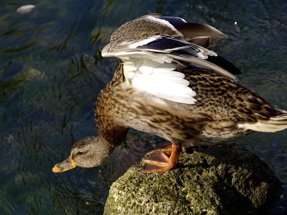 Die Ente ist gleich weg