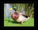 Die Ente von Hever Castle
