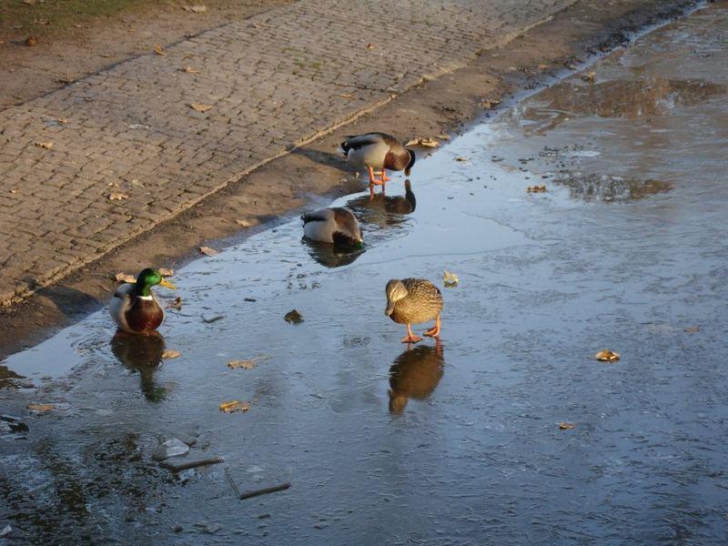 Die Enten schwimmen oder laufen...