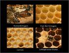 Die Entstehung einer Biene im Bienenstock