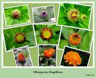 Die Entstehung einer Ringelblume mit der Pentax X90 fotografiert !