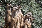 Die Erdmännchen-Gang :)