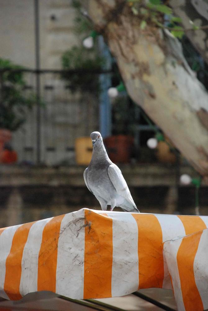 Die erhabene Taube